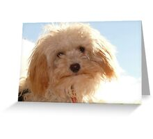 Millie. Toy Poodle Shit-zou Cross. Greeting Card