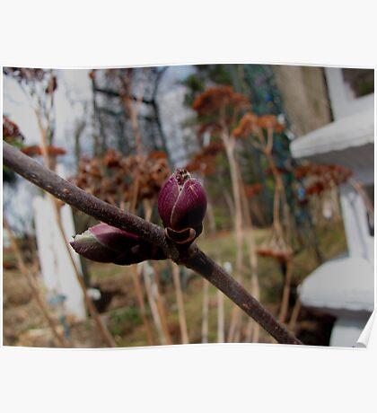 Elderberry Buds Poster