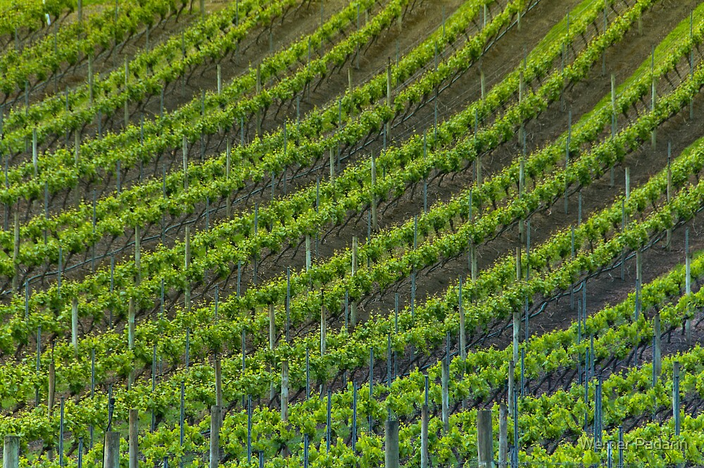 Vineyard 6 by Werner Padarin