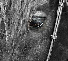 Pure Black Morgan Stallion by roxanne photography