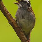 White-throated Sparrow by naturalnomad