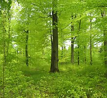 The beech wood in May by Trine