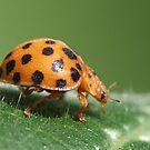 Lady Beetle by KiriLees