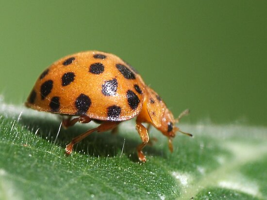 Lady Beetle by KiriLees