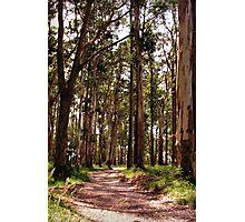 Dandenong Ranges National Park - Mountain Ash Photographic Print