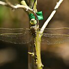 Dragonfly by paulmcardle