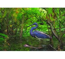 Tricolored Heron Photographic Print