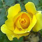 Yellow Rose Drops by Amy Dee