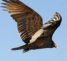 Turkey Vulture in Flight by Paulette1021
