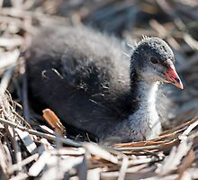 Coots Nest by TheNug