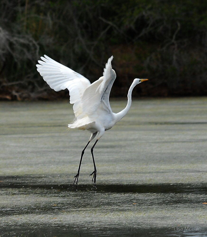 Egret Landing By Lisa Mclain Redbubble