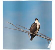Osprey on Greenbelt Poster