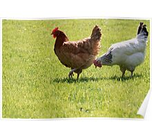 Rhode Island red hens walking  Poster