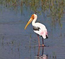 Painted Stork, Minneriya by induruwana