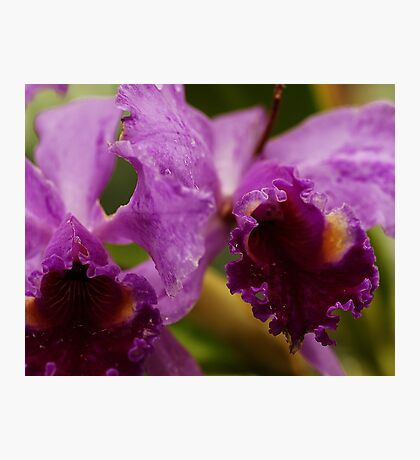 """""""Two Precious"""" - Conservatory Orchids Photographic Print"""