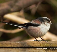 Long tailed cutie... by anniek1947