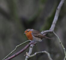 New Years Robin by Paul  Gibb