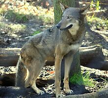 Red Wolf by AuntDot