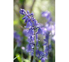 Blue bell flower photograph  Photographic Print