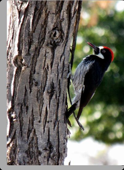 Acorn Woodpecker ~ Male by Kimberly Chadwick