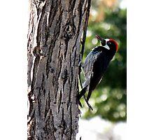 Acorn Woodpecker ~ Male Photographic Print