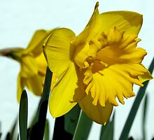 Daffodil by Lee Potter