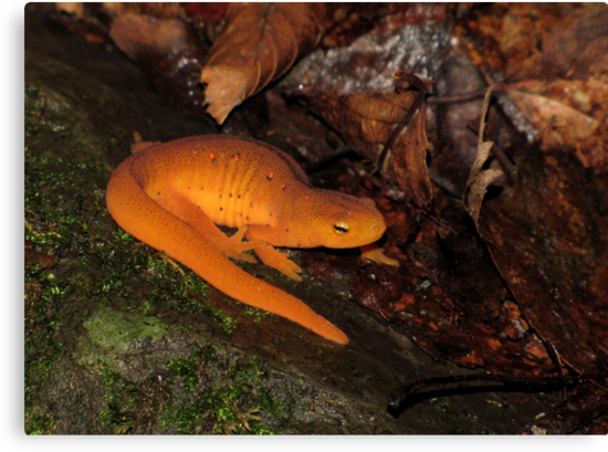 Eastern Newt on Forest Floor by Robert Miesner