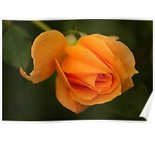 Peach Rose Bud Poster