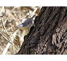 White-breasted Nuthatch ~ Catalina Mt, AZ Photographic Print