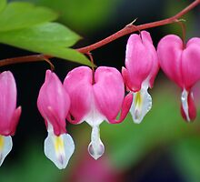 Bleeding Hearts by crystalseye