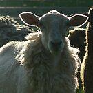 White Sheep, Black Sheep by louisegreen