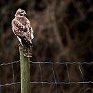 Hawk on a Farm Fence by David Friederich