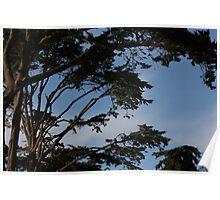 Cedar trees 8778 Poster