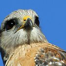 Red shouldered hawk  straight on! by jozi1