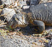 Land Iguana by Ken Griffiths