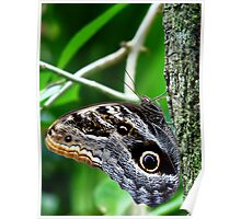 Giant Owl Butterfly  Poster