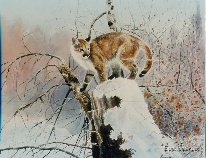 """""""Cougar - out in the snowy wilderness"""" by Spenceartist"""