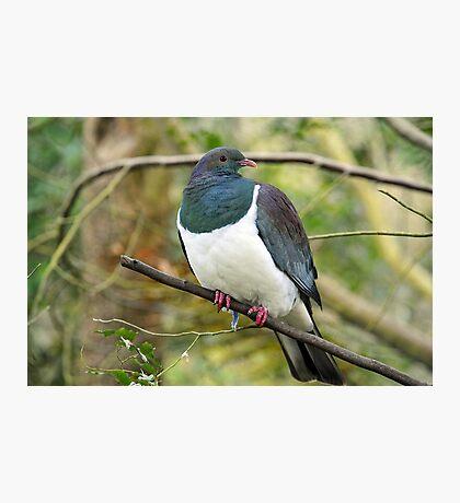 The Wood Pigeon. Haast Beach, South Island, New Zealand. Photographic Print