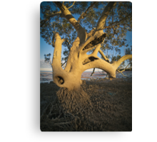 mangrove in roebuck bay Canvas Print