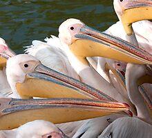 Pelicans... by Rene Fuller