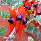 Sturts Desert Pea by DashTravels