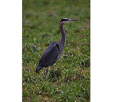handsome heron Photographic Print