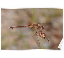 Autumn Meadowhawk at Mirror Lake Poster