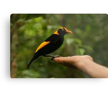 A Regent Bowerbird in the hand is worth two or more photos Metal Print