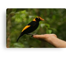 A Regent Bowerbird in the hand is worth two or more photos Canvas Print