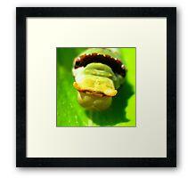Orchard Swallowtail Caterpillar Framed Print