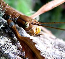 Face of a Titan Stick Insect (Acrophylla Titan) by Vanessa Barklay