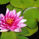 Pink water lily by Anthony Thomas