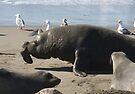 Mature Male Elephant Seal by CarolM