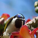 Blue Faced Honey Eater Close Up  by Margaret Stanton